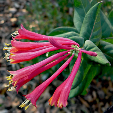 image of Lonicera sempervirens, Coral Honeysuckle, Woodbine, Trumpet Honeysuckle