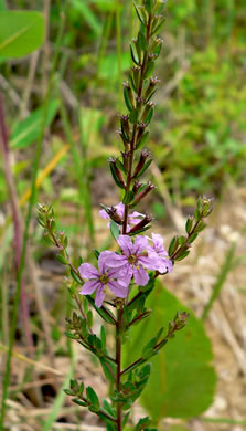 image of Lythrum alatum, Northern Winged Loosestrife