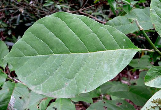 Namethatplantnet Magnolia Acuminata Var Acuminata
