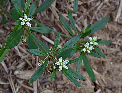 flower of Mollugo verticillata, Carpetweed, Indian-chickweed