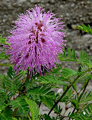 flower of Mimosa strigillosa, Mimosa Vine, Sensitive Vine, Powderpuff Mimosa