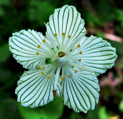 image of Parnassia asarifolia, Kidneyleaf Grass-of-Parnassus, Appalachian Grass-of-Parnassus, Brook Parnassia