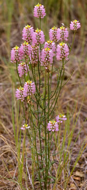 image of Polygala curtissii, Appalachian Milkwort, Curtiss' Milkwort