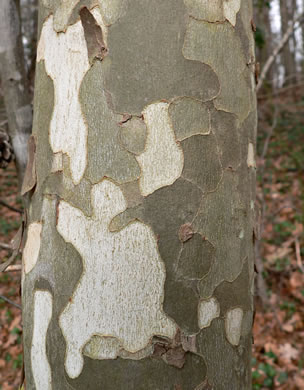 image of Platanus occidentalis var. occidentalis, Sycamore, Planetree