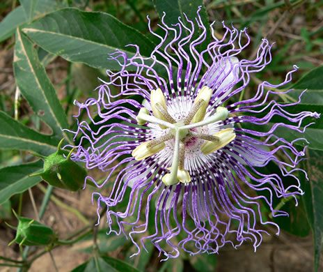 flower of Passiflora incarnata, Passionflower, Maypop