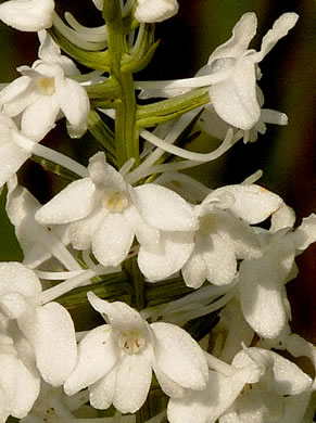 image of Platanthera nivea, Snowy Orchid, Bog-spike