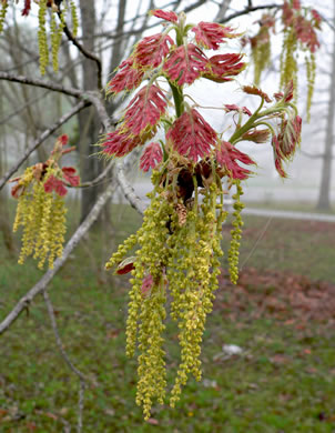 flower of Quercus shumardii, Shumard Oak, Swamp Red Oak