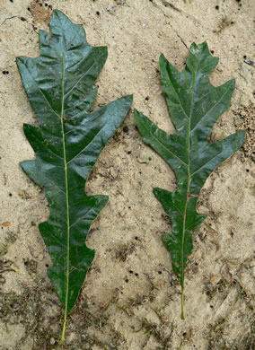 picture of Quercus lyrata, image of Quercus lyrata