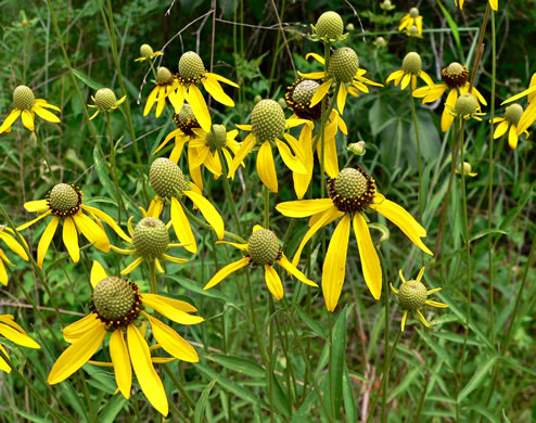 image of Ratibida pinnata, Grey-headed Coneflower, Globular Prairie Coneflower