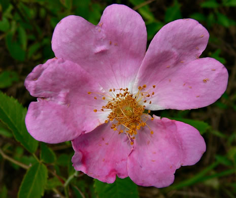 flower of Rosa setigera, Climbing Prairie Rose