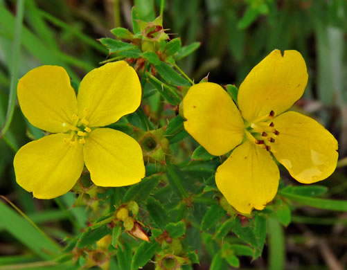 image of Rhexia lutea, Yellow Meadowbeauty, Golden Meadowbeauty