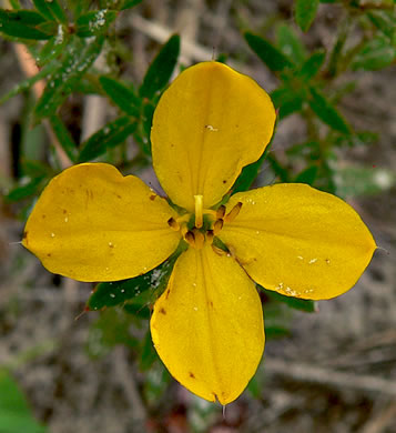 elliptical: Rhexia lutea, Yellow Meadowbeauty, Golden Meadowbeauty