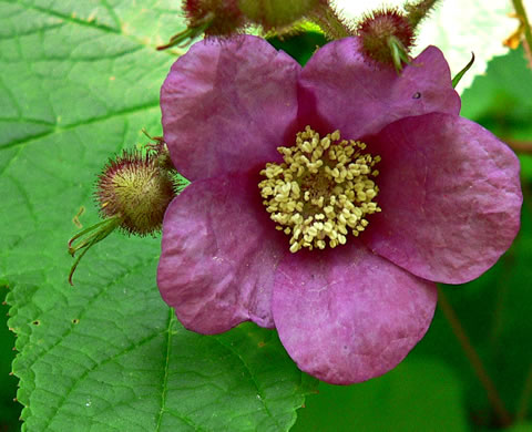 flower of Rubus odoratus, Purple-flowering Raspberry, Thimbleberry