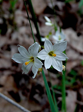 image of Sisyrinchium albidum, Pale Blue-eyed Grass