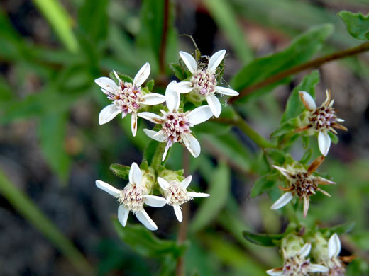 flower of Sericocarpus asteroides, Toothed Whitetop Aster