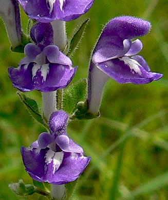 flower of Scutellaria elliptica var. hirsuta, Hairy Skullcap