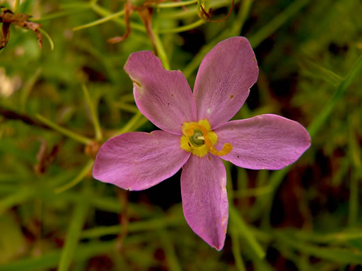 image of Sabatia grandiflora, Largeflower Rose-gentian