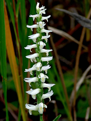image of Spiranthes magnicamporum, Great Plains Ladies'-tresses
