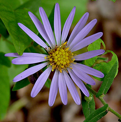 flower of Symphyotrichum patens var. patens, Late Purple Aster, Common Clasping Aster, Late Blue Aster, Skydrop Aster