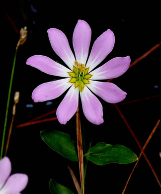 flower of Sabatia foliosa, Marsh Rose-gentian
