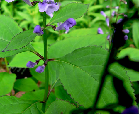 image of Scutellaria serrata, Showy Skullcap, Serrate Skullcap