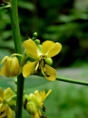 flower of Senna marilandica, Maryland Wild Senna