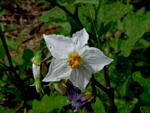 image of Solanum carolinense var. carolinense, Carolina Horsenettle, Ball-nettle