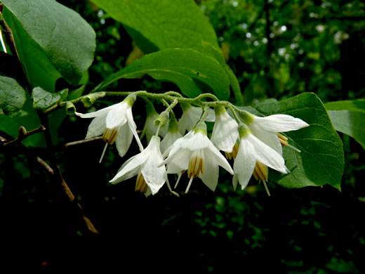 flower of Styrax grandifolius, Bigleaf Snowbell, Large-leaved Storax