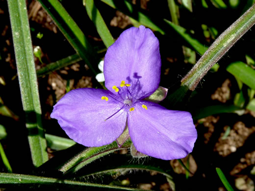 flower of Tradescantia hirsuticaulis, Hairy Spiderwort