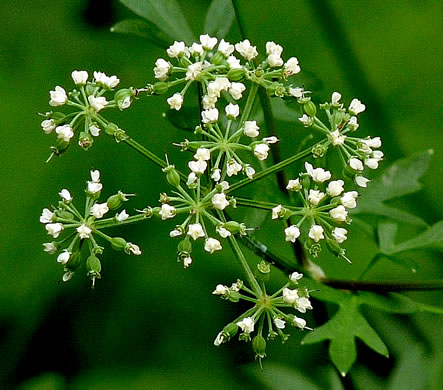flower of Thaspium pinnatifidum, Cutleaf Meadow-parsnip