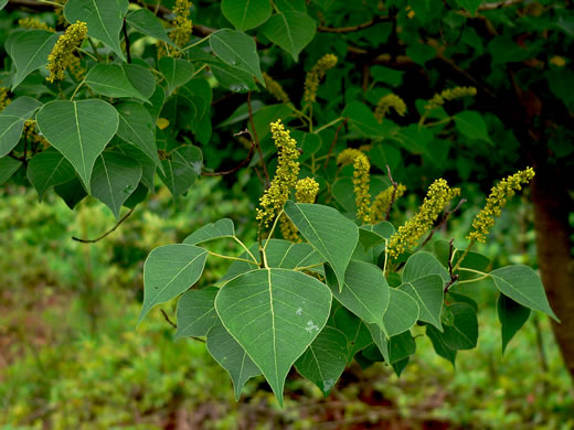 image of Triadica sebifera, Popcorn Tree, Chinese Tallow-tree
