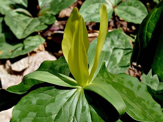 Namethatplant petal shape in yellow flowering trilliums trillium luteum trillium luteum trillium cuneatum var luteum mightylinksfo