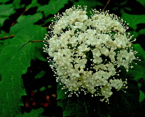 flower of Viburnum acerifolium, Mapleleaf Viburnum, Maple-leaved Arrowwood, Dockmackie
