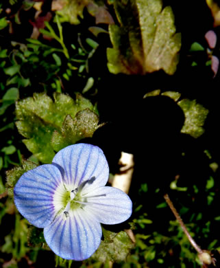 image of Veronica persica, Bird's-eye Speedwell