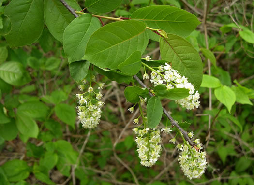 elliptical: Prunus virginiana var. virginiana, Choke Cherry, Common Chokecherry