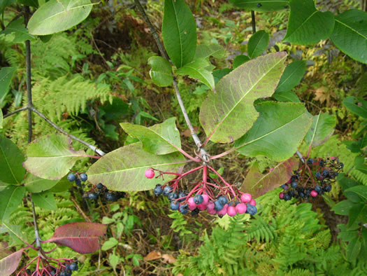 image of Viburnum cassinoides, Northern Wild Raisin, Withe-rod, Shonny Haw, Shawnee Haw