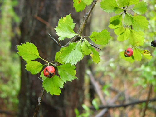 image of Crataegus dispar