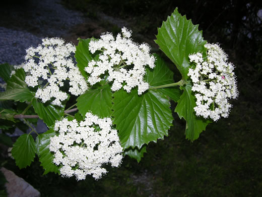 flower of Viburnum bracteatum, Limerock Arrowwood