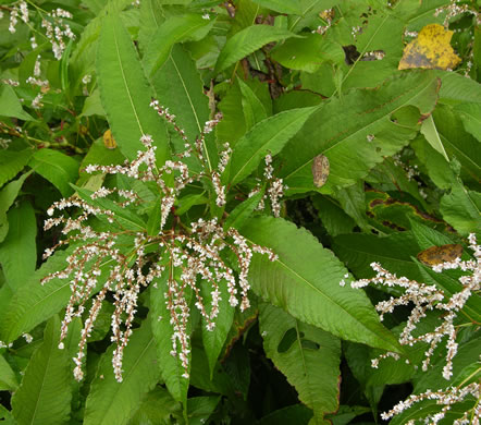 image of Persicaria wallichii var. wallichii, Himalayan Knotweed, Kashmir Plume, cultivated knotweed