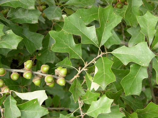 image of Quercus ilicifolia, Bear Oak, Scrub Oak