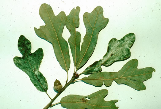 image of Quercus similis, Swamp Post Oak, Bottomland Post Oak, Delta Oak