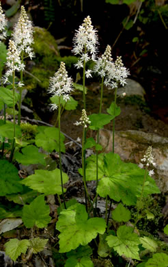 image of Tiarella cordifolia, Mountain Foamflower, False Miterwort