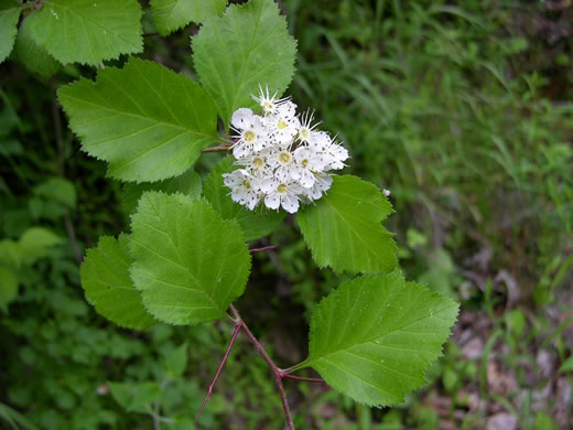 Image result for crataegus calpodendron