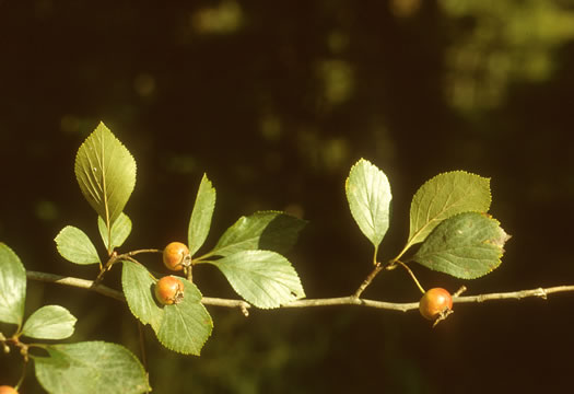 image of Crataegus collina