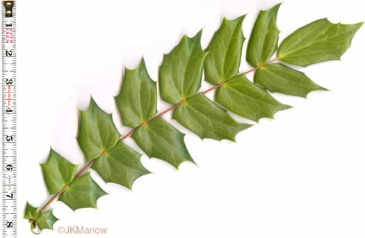 pinnately compound leaves of shrubs: Berberis bealei, Mahonia bealei, Mahonia bealei