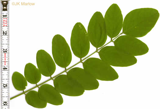 pinnately compound leaves of trees: Robinia pseudoacacia, Robinia pseudoacacia, Robinia pseudo-acacia