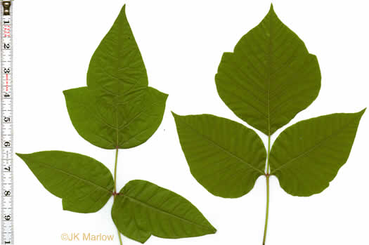 Toxicodendron radicans var. radicans, Toxicodendron radicans ssp. radicans, Rhus radicans