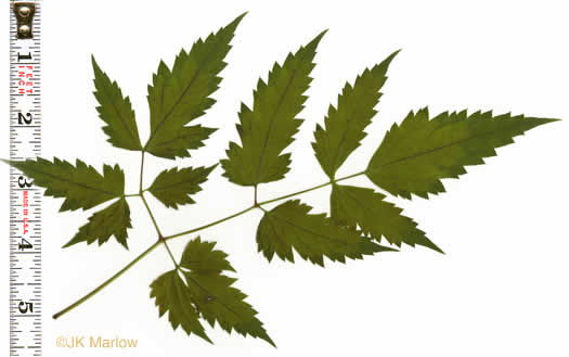 leaf or frond of Actaea pachypoda, Doll's-eyes, White Baneberry, White Cohosh