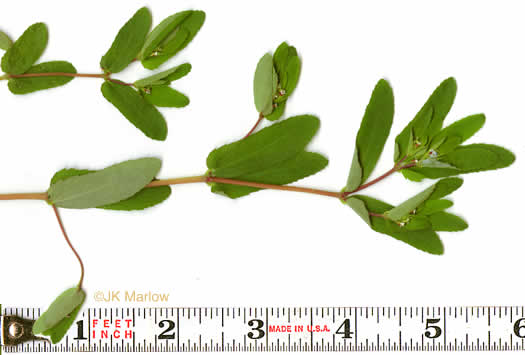 image of Croton glandulosus var. septentrionalis, Doveweed, Tooth-leaved Croton, Sand Croton