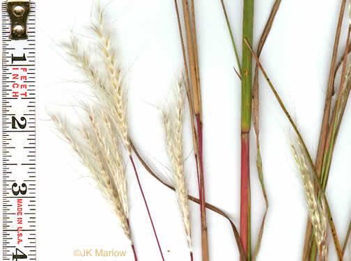 picture of Andropogon ternarius, image of Andropogon ternarius var. ternarius
